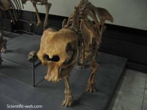 ElephasFalconeri2