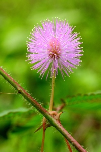 mimosa-pudica1