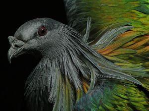 nicobar-pigeon-central-park_87489_990x742