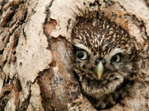 owl-peeking-tree-northumberland_83592_990x742