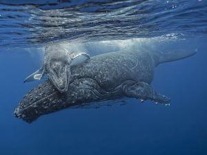 baleen-whale-humpback-tonga_87526_990x742