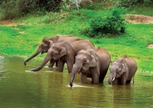 Elephants-drinking-water-at-Bandipur
