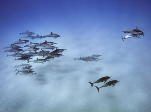 spinner-dolphins-hawaii_89672_990x742 copy