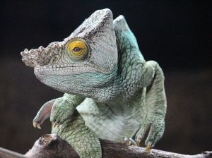 chameleon-reptile-perched_91002_990x742