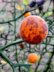 citrus-trifoliata