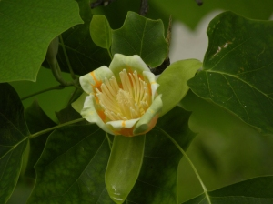 Liriodendron tulipifera. Tulip Tree. June 2 2010
