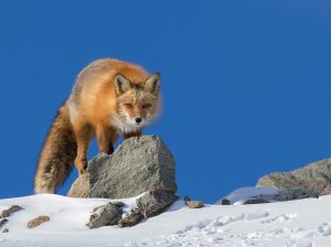 red-fox-stalking-snow_90887_990x742