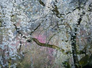 weeping-cherry-blossoms-kyoto_90432_990x742