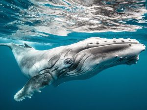 baby-humpback-whale_91284_990x742