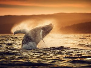 humpback-whale-breach_90675_990x742