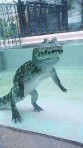 alligators_can_walk_perfectly_upright_under_water_640_02