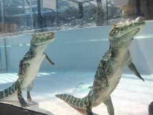 alligators_can_walk_perfectly_upright_under_water_640_03