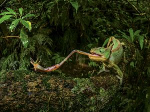 chameleon-insect-foraging_91468_990x742
