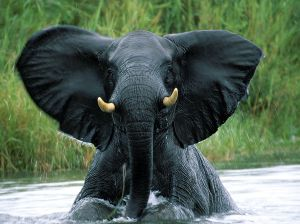 elephant-close-up-tanzania_91344_990x742-1