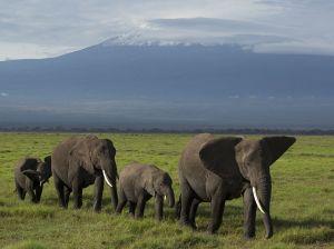 elephant-herd-kilimanjaro_91289_990x742