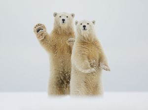 polar-bears-waving-alaska_91574_990x742