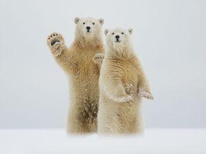 polar-bears-waving-alaska_91574_990x742