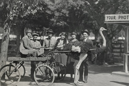 46. Ostrich at Cawston Ostrich Farm in South Pasadena, California, ca. 1910s