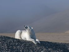 polar-bear-beechey-island_91895_990x742
