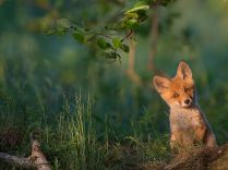 red-fox-estonia_91836_990x742