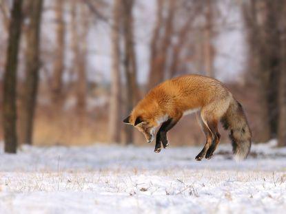 quebec-fox-jump_92235_990x742
