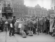 An elephant stops traffic at London's Elephant and Castle by lying down in the middle of the road and refusing to move, 1934