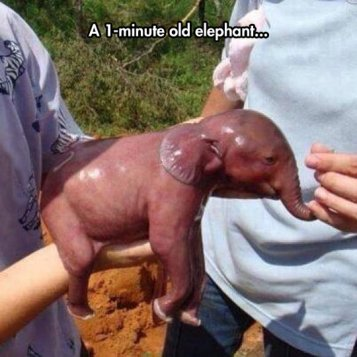 cool-one-minute-old-baby-elephant