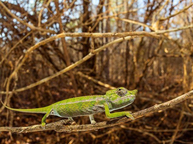 labord-chameleon-ziegler_91890_990x742
