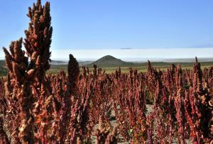 "A quinoa plantation in Llica, in the vicinity of the Uyuni salt flat, southern Bolivia on March 10, 2013. The Bolivian government promotes the ""quinoa road"", a 1500 km (940 miles) network of roads linking the departments of La Paz, Oruro and Potosi, where 48,500 tons of the cereal are planted each year. The goal is to reach one million tons of quinoa, worth one billion dollars, per year in the next ten years, officials said. Bolivia produces 70% of the world's quinoa. FAO recognizes the crop is an strategic food to erradicate hunger iand declared 2013 as ""International Year of the Quinoa"".   AFP PHOTO/Aizar Raldes        (Photo credit should read AIZAR RALDES/AFP/Getty Images)"