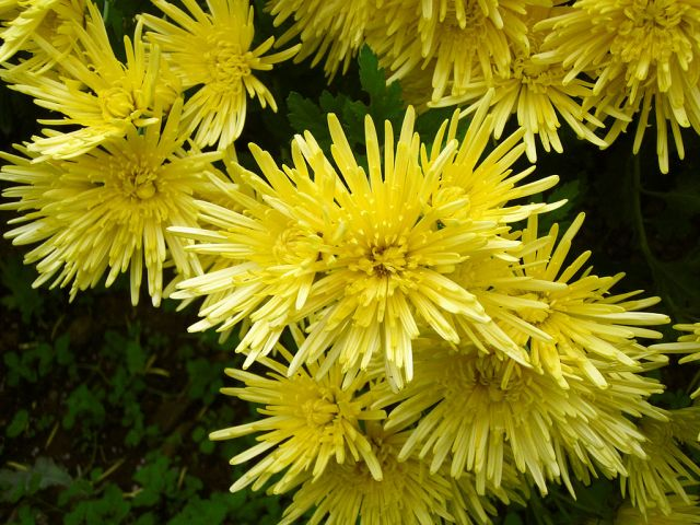 1024px-chrysanthemum_morifolium_j04