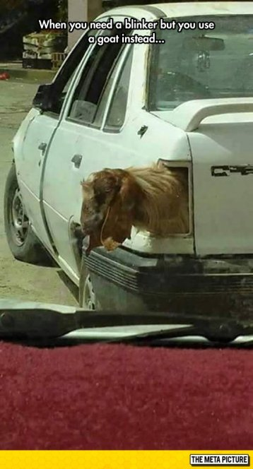 funny-car-goat-blinker-light