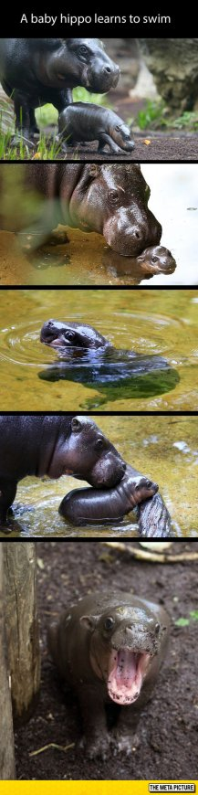 cute-baby-hippo-mother-nature