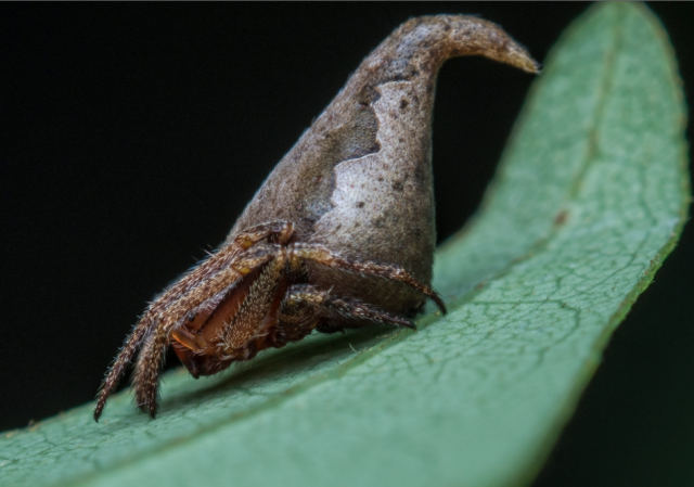 'Eriovixia Gryffindori' is a newly discovered species of spider, found in India, which bears a strong resemblance to the Sorting Hat in the Harry Potter films.Javed Ahmed / Indian Journal of Arachnology