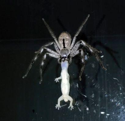 spider_eats_gecko_01