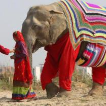 mathura-elephants-get-giant-sweaters